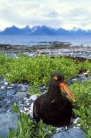 Black Oystercatcher on nest showing with Port Grav