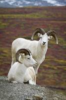Two Dall Sheep rams on hillside overlooking tundra
