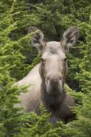 Moose cow bedded down amongst hemlock boughs, Chug