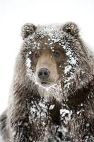 Male Brown bear with a frosty face lying on snow,