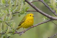 A male Yellow Warbler perched in a willow, Copper