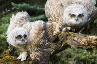 Baby Great Horned Owls Leduc County, Alberta, Can