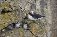 Least Auklets perched on a narrow ledge with Horne