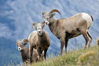 Young Bighorn Sheep, Windy Point, Kootenay Plains,