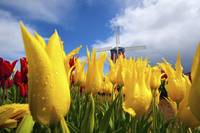 Tulips In A Field And A Windmill At Wooden Shoe Tu