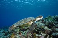 Micronesia, Yap, Green Sea Turtle