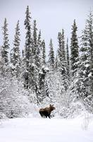 Moose In Deep Snow, Near Teslin, Yukon, Canada