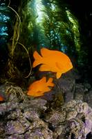 California, Garibaldi Fish