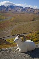 A Dall ram lies on shoulder of the park road overl