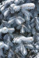 Blue Spruce Branches Covered In Snow