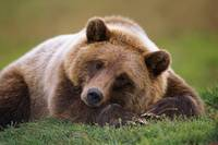Brown Bear Laying Down, Southcentral Alaska