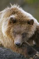 Brown Bear Laying Down, Southcentral, Alaska