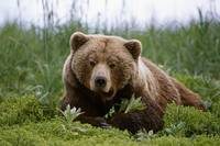 Brown Bear Laying In Grass Near Mcneil River, Sout