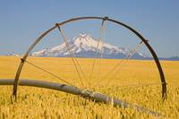 Irrigation Pipe In Wheat Field With Mount Hood In