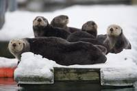 Group of Sea Otters hauled out on a boat dock in V