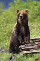 Brown Bear Standing Upright On Log, Southcentral A