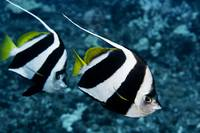 Hawaii, Two Pennant Bannerfish