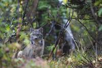 Wild Canada Lynx Sitting Beneath An Alder Tree In