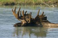 Bull Moose In Deep Pond, Southcentral Alaska