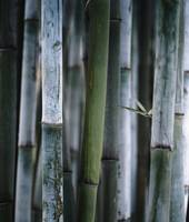 Detail Of Green Bamboo In Bamboo Park, Chengdu, Si