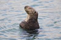 Sea Otter With Arms Crossed Floats Upright In Prin