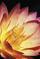 Close-Up Of Pink Water Lily, Center, Dark Backgrou