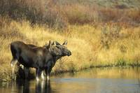 Moose Twin Calves Standing On Stream Bank, Grand T
