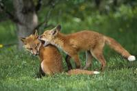 Adolescent Red Foxes Play Together, Anchorage, Ala