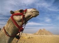 Camel In Front Of Great Pyramids Of Giza, Egypt