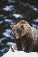 Brown Bear Standing In Snow And Yawning, Yakutat,