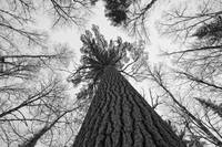 Black And White Image Of A Large White Pine, Ontar
