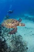 Hawaii, An Endangered Species, Green Sea Turtles