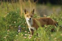 Red Fox In Meadow, Southcentral Alaska