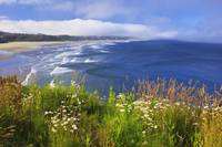 Wildflowers Along Yaquina Head Newport, Oregon, U