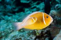 Hawaii, Bright Orange Anemone Fish Swimming With N
