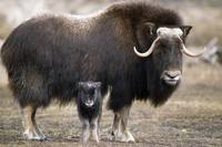 Adult Musk-Ox And Calf At The Alaska Wildlife Cons