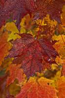 Fall Colors In Maple Leaves, Ontario, Canada