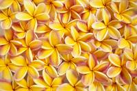 Many Red And Yellow Plumeria Flowers Spread Overla