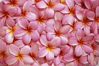 Spread Of Pink Plumeria Flowers Overlapping, Water