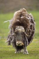 Closeup Of Very Shaggy Musk-Ox Losing Winter Layer