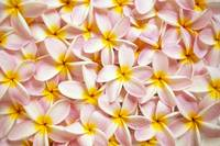 Close-Up Of A Bed Of Light Pink Plumeria Flowers,