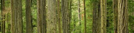 Douglas Firs And Sitka Spruce, Cathedral Grove, Br