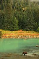 Grizzly Bear Fishing In Chilkoot River, Haines, Al