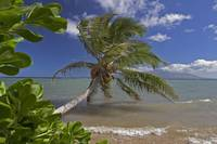 Hawaii, Molokai, Palm Tree Overhangs The Ocean Wit