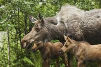 Two Newborn Moose Calves And Their Mother, Eagle R