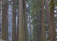 Snow Covered Trees In Cathedral Grove, British Col