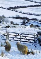 Sheep, Ireland Sheep And A Farm During Winter In