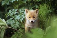 Red Fox Kit Peering Through Bushes At Mcneil River
