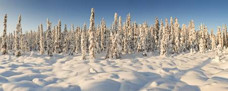 Panoramic view of snow covered spruce trees in lat