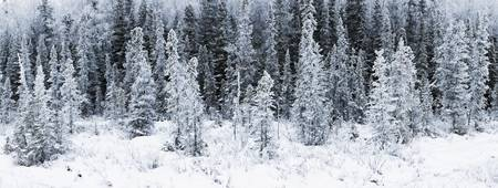 Panoramic view of hoar frost covered spruce trees